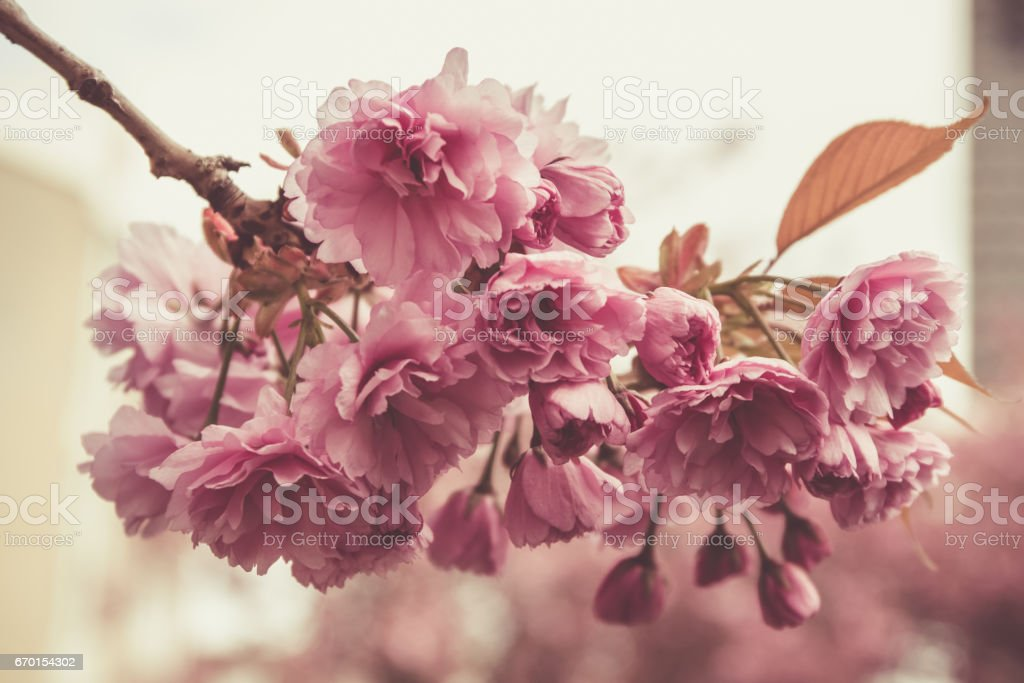 Spring blossom in full glory on the tree. – Foto
