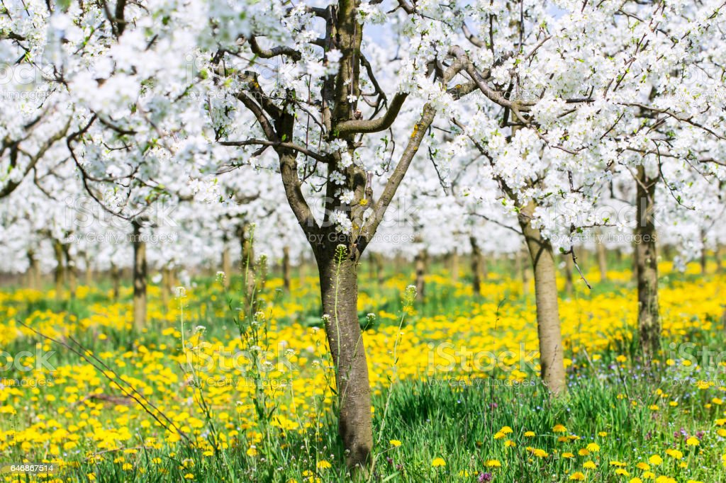 Spring blossom in white flower budding orchard background stock photo