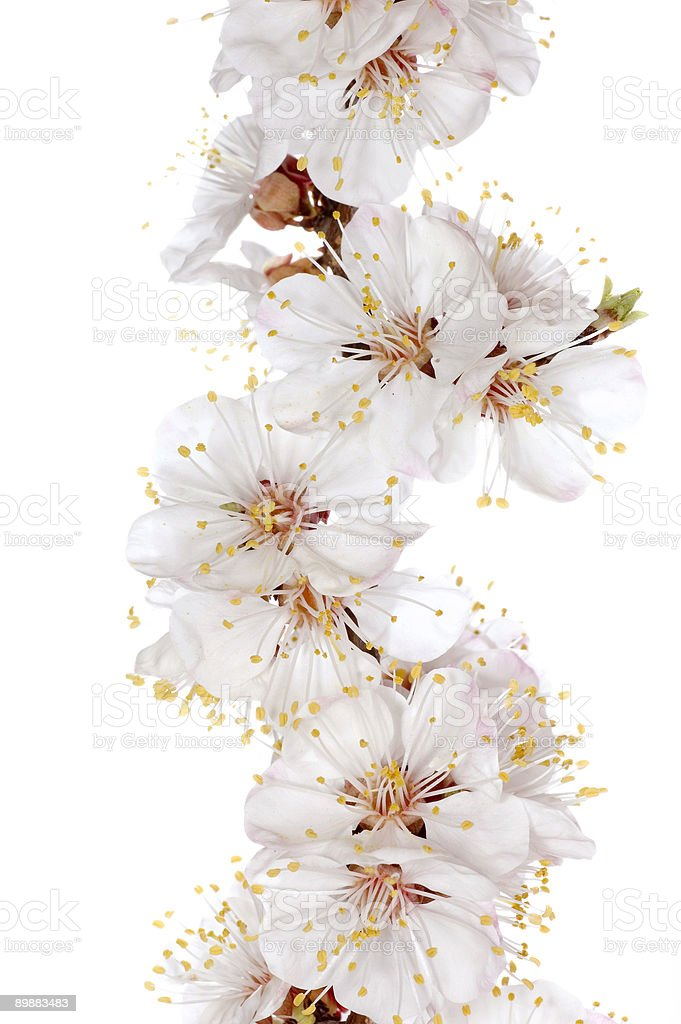 Spring blossom isolated royalty-free stock photo