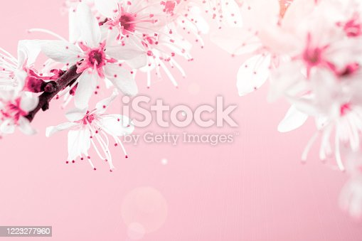 909680446 istock photo Spring blossom. May flowers and April floral nature on pink background. Branches of blossoming apricot macro with soft focus. For easter and spring greeting cards with copy space. Springtime. 1223277960