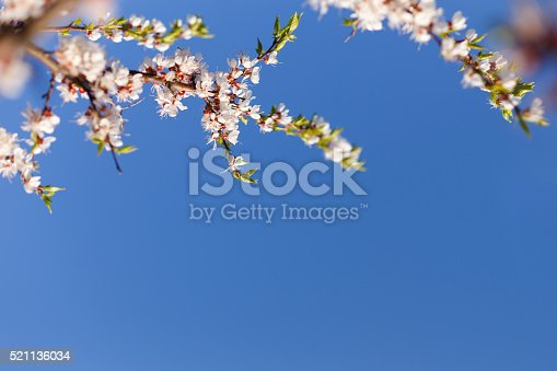 istock Spring blossom of apricot flowers 521136034