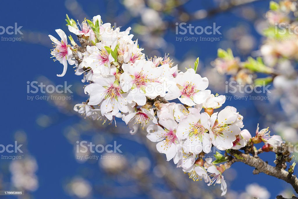 Spring blossom of apricot tree royalty-free stock photo