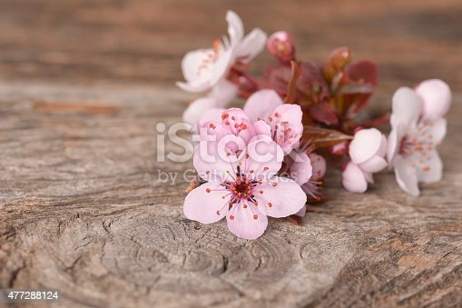 istock Spring Blossom over wood background 477288124