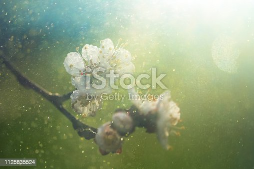 Apricot flowers in the spring