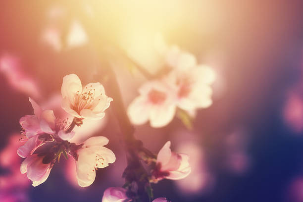 Spring blossom picture id481082815?b=1&k=6&m=481082815&s=612x612&w=0&h=ji3mz6glwnnc 7jc90yasutpdt1sikagmpyjkbj9vgm=