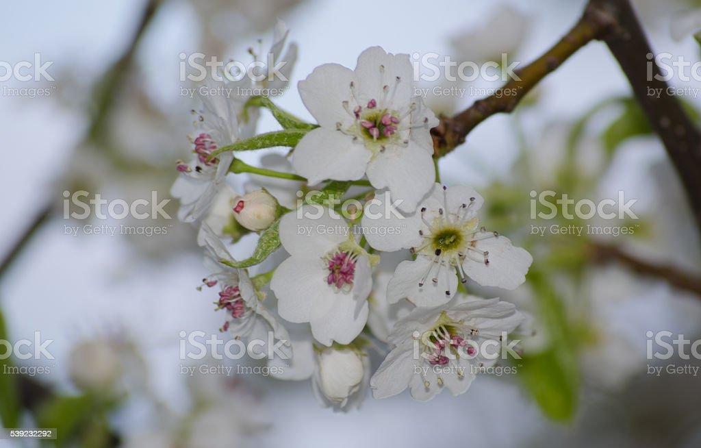 Blossom de primavera  foto de stock libre de derechos
