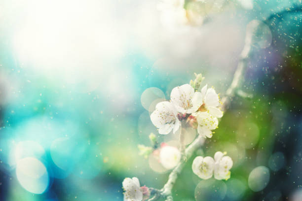 spring blossom - sakura background stock photos and pictures