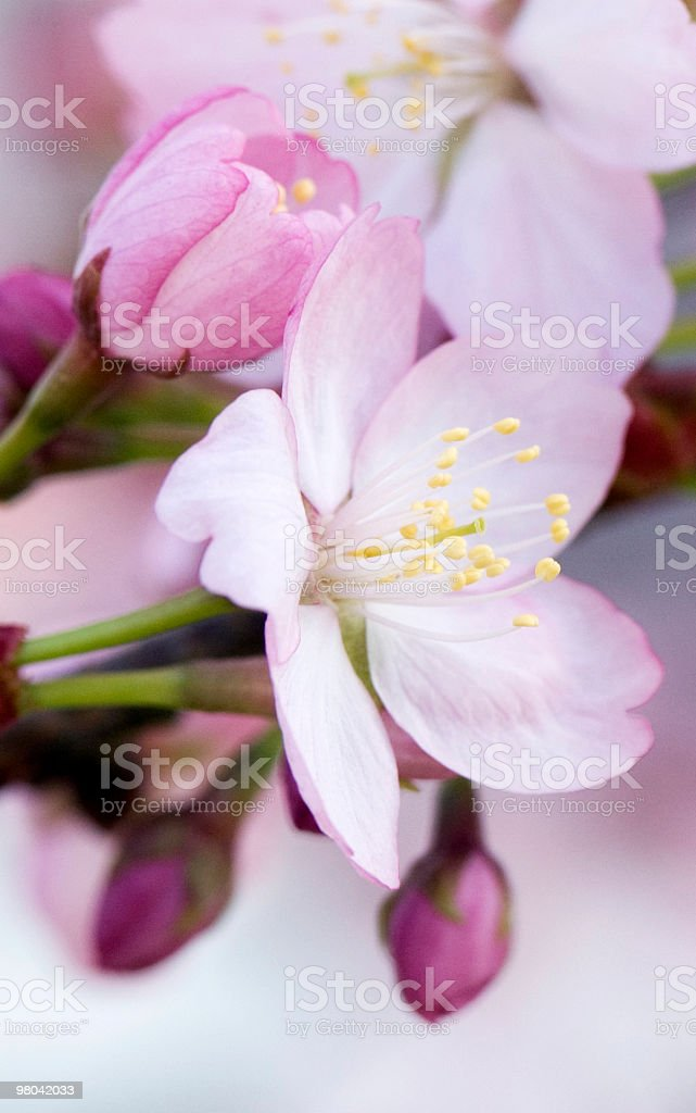 Fiore di primavera foto stock royalty-free