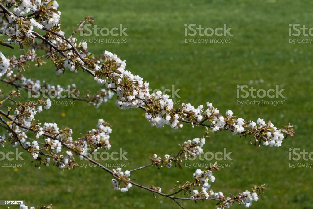 spring blossom south germany white bloom on green foto stock royalty-free