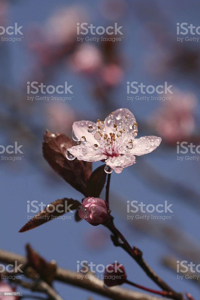 Spring blossom with dew-droplets in the morning-sun royalty-free stock photo