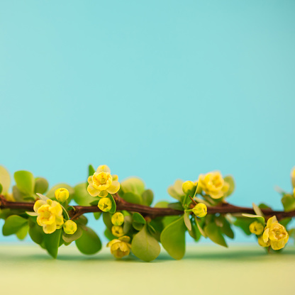 istock Spring blossoming barberry branch 1000993632
