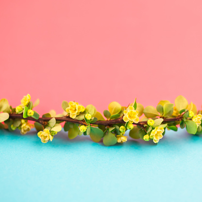 istock Spring blossoming barberry branch 1000993700
