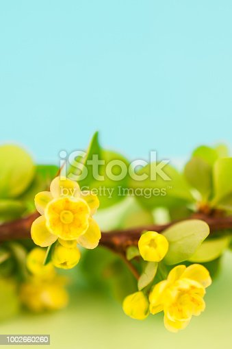 istock Spring blossoming barberry branch 1002660260