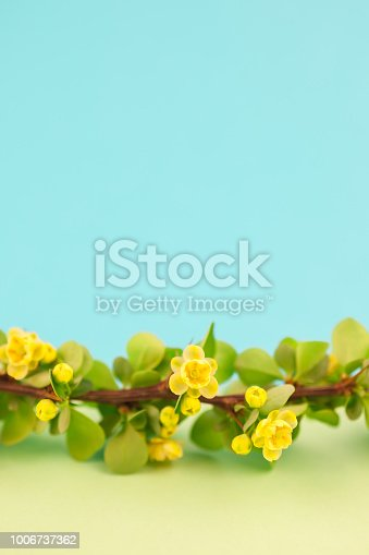 istock Spring blossoming barberry branch 1006737362
