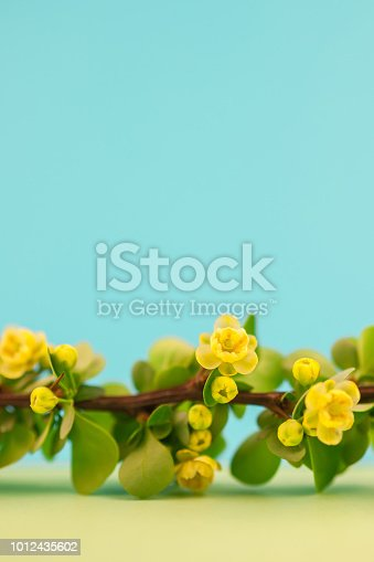 istock Spring blossoming barberry branch 1012435602