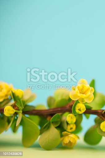 istock Spring blossoming barberry branch 1012435626