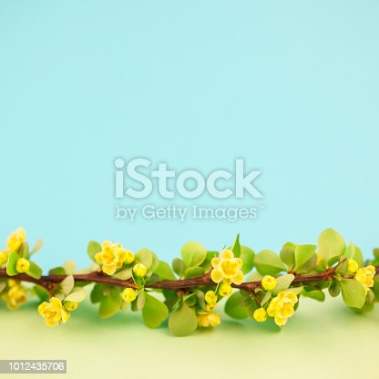istock Spring blossoming barberry branch 1012435706