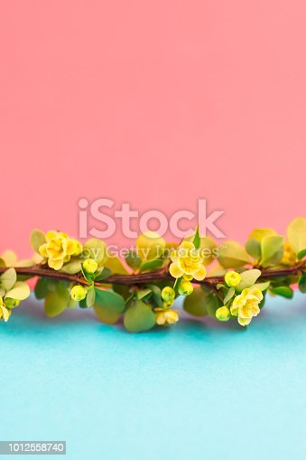 istock Spring blossoming barberry branch 1012558740