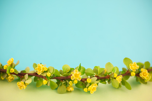 istock Spring blossoming barberry branch 1012558794