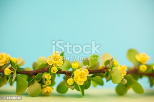 istock Spring blossoming barberry branch 1014408310