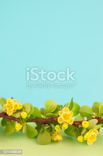 istock Spring blossoming barberry branch 1014408348