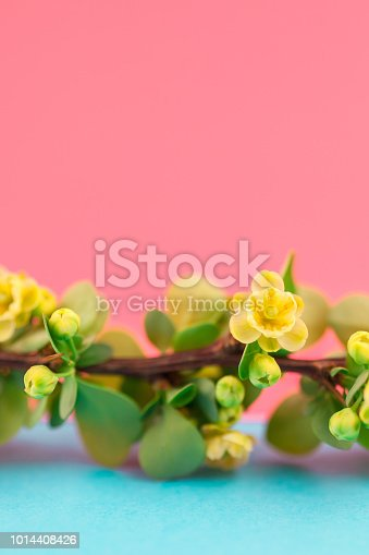 istock Spring blossoming barberry branch 1014408426