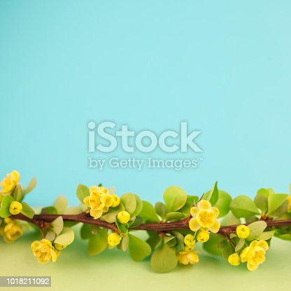 istock Spring blossoming barberry branch 1018211092
