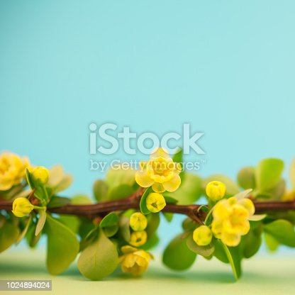 istock Spring blossoming barberry branch 1024894024