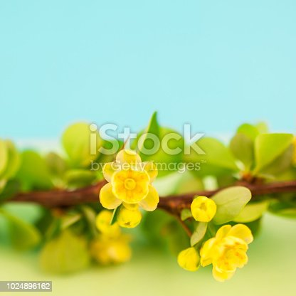 istock Spring blossoming barberry branch 1024896162