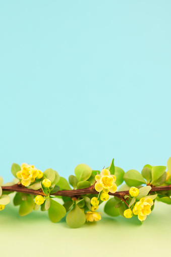 istock Spring blossoming barberry branch 1035146120
