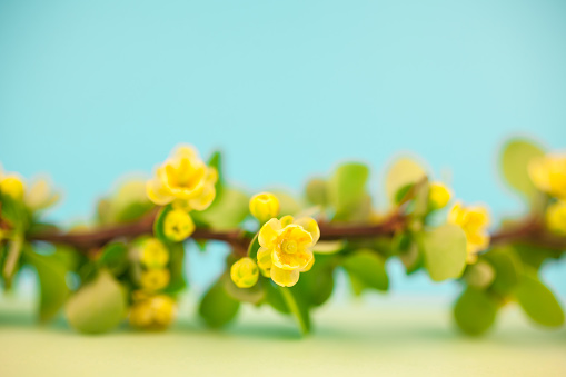istock Spring blossoming barberry branch 1035146146