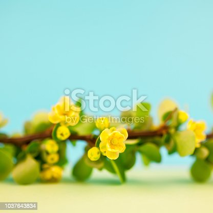 istock Spring blossoming barberry branch 1037643834
