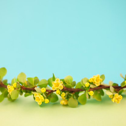istock Spring blossoming barberry branch 1040330460