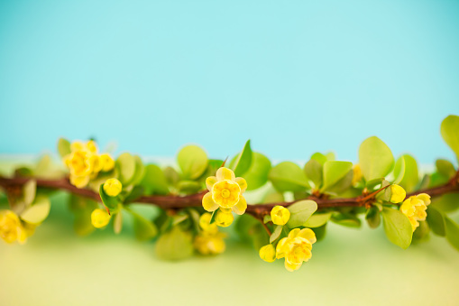 istock Spring blossoming barberry branch 1040330516