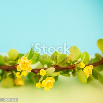 istock Spring blossoming barberry branch 1050843234