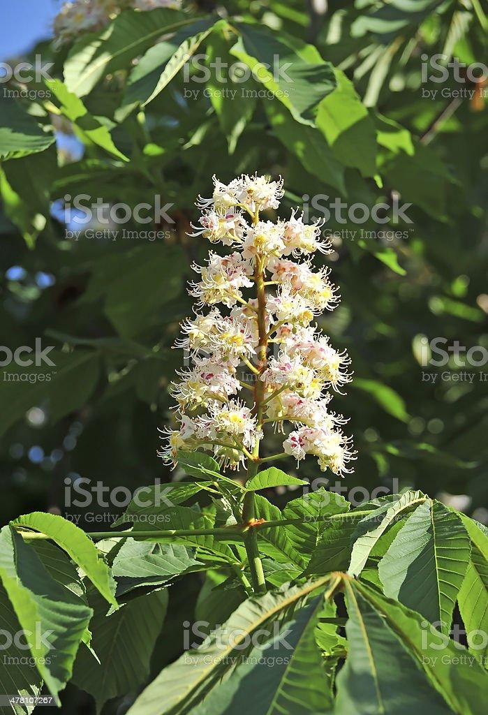 Spring blossoming chestnut (Castanea sativa) flower royalty-free stock photo