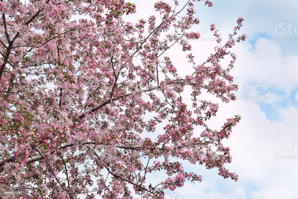 Spring blossoming of the cherry tree royalty-free stock photo