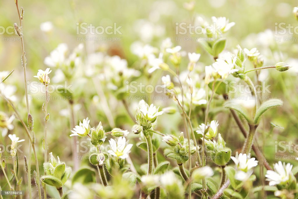 Spring blossoming on the field royalty-free stock photo