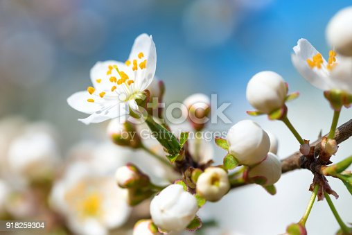 istock Spring blossoming white spring flowers 918259304