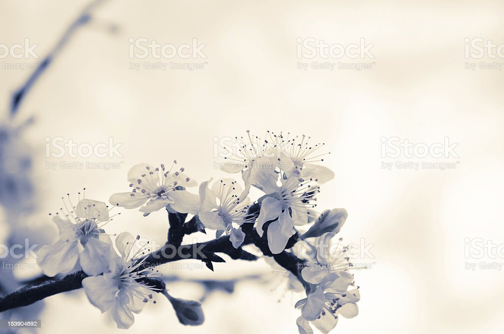 Spring Blossoms flower on wild nature royalty-free stock photo