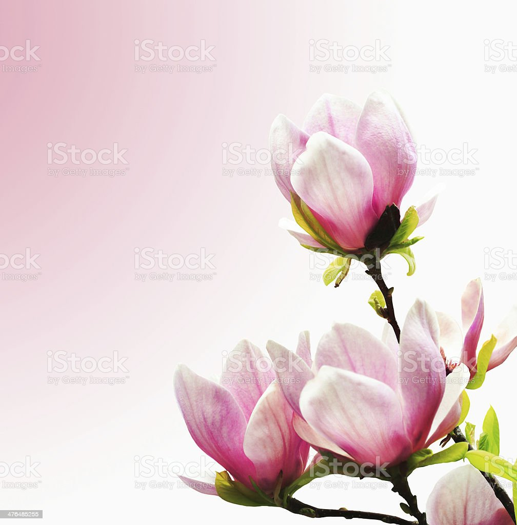 Spring Blossoms of a Magnolia tree royalty-free stock photo