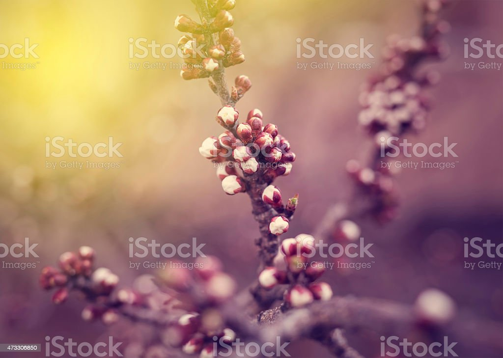 spring blossoms on branch in spring stock photo