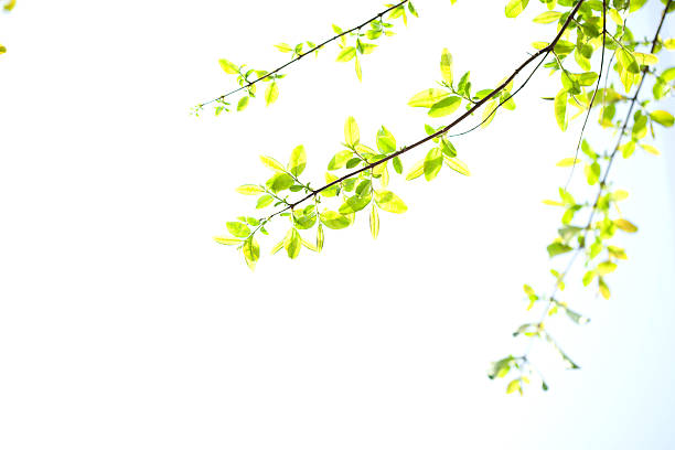 spring blossoms - watermark stock photos and pictures