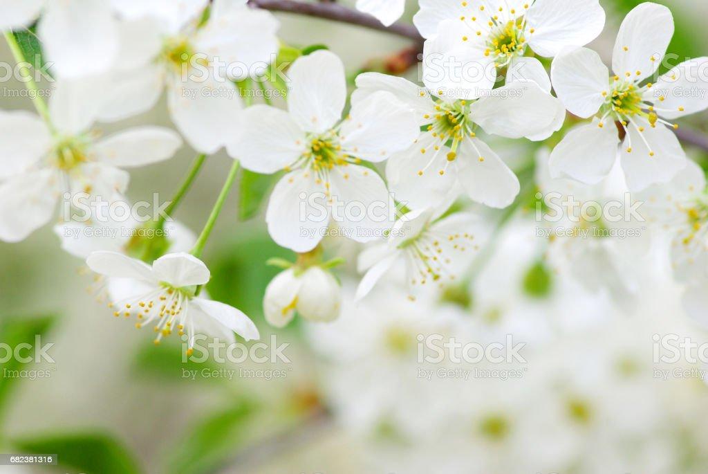 spring blossoms photo libre de droits