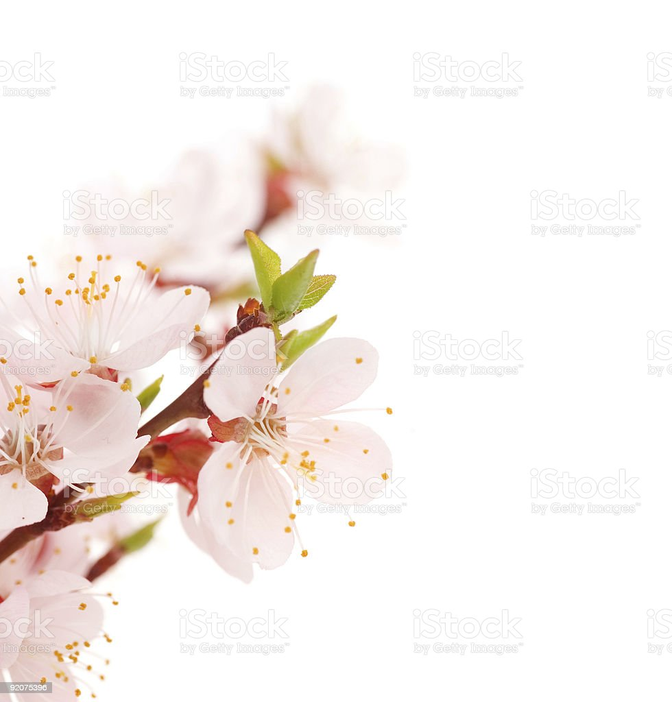 Spring Blossoms stock photo