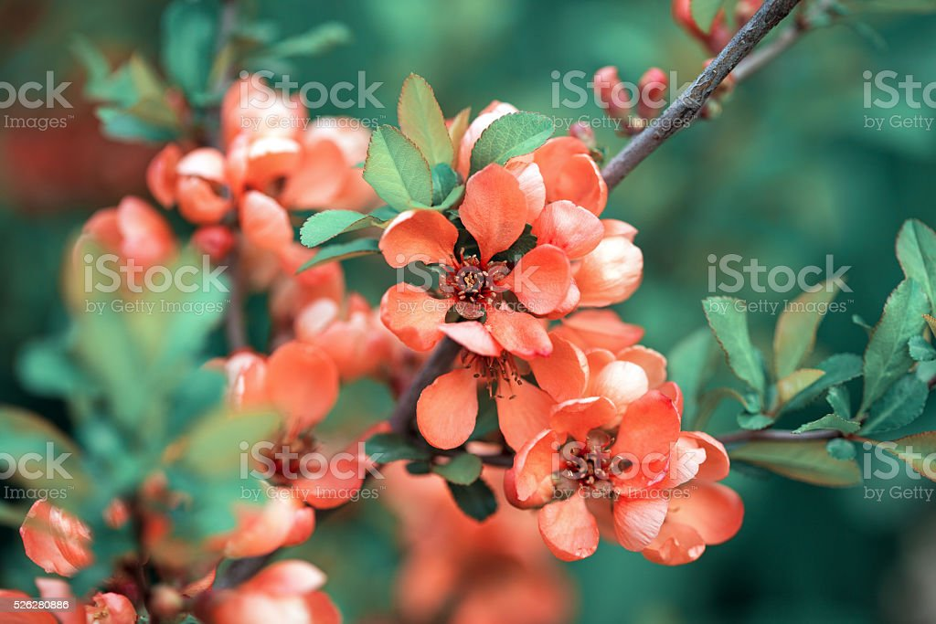 Spring blossoms, pink flowers of almonds. Amygdalus shrub stock photo
