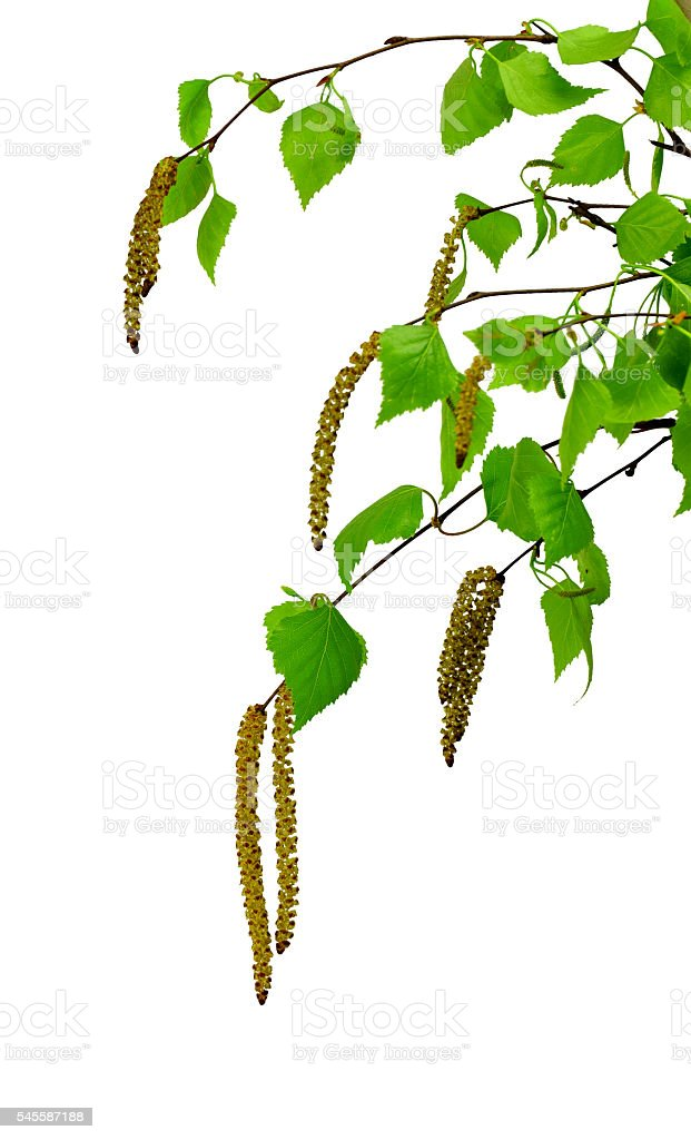 Spring blossoms tree birch with young green leaves. stock photo