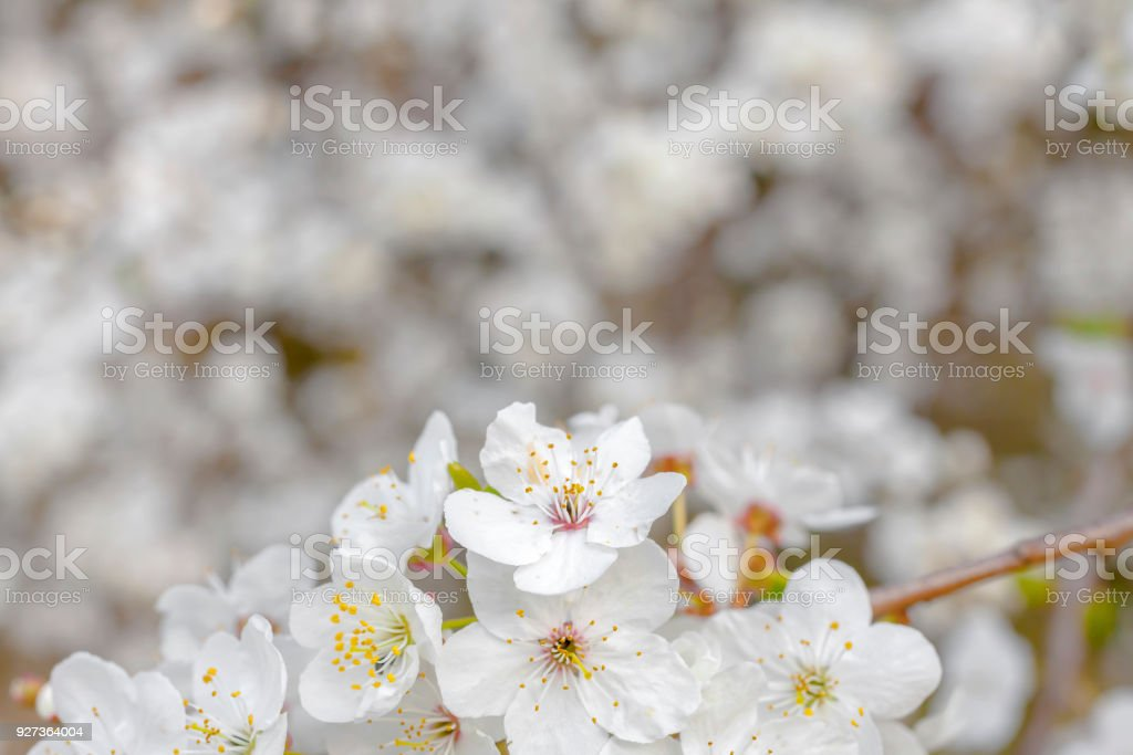 Spring blossoms tree - Royalty-free Beauty Stock Photo