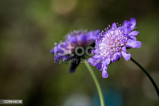 spring blue and purple flowers on long stalks against dark bokeh