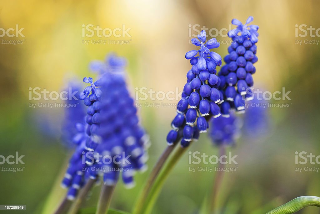 Spring blue bells royalty-free stock photo